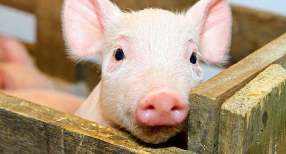 关于非洲猪瘟疫病疫苗,来听听中国农科院有关专家说了啥