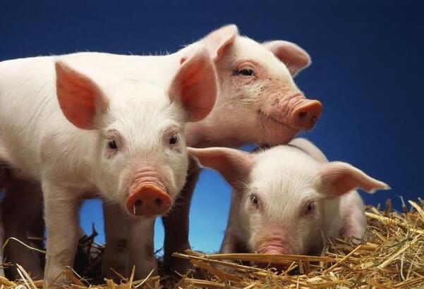 温氏、雏鹰、中粮等各大企业及14省市前三季度养猪生产情况盘点