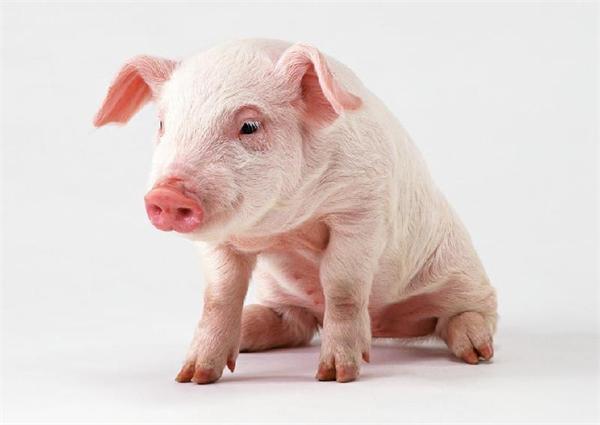 高全利:浅谈大型饲料企业进入养猪业的前景