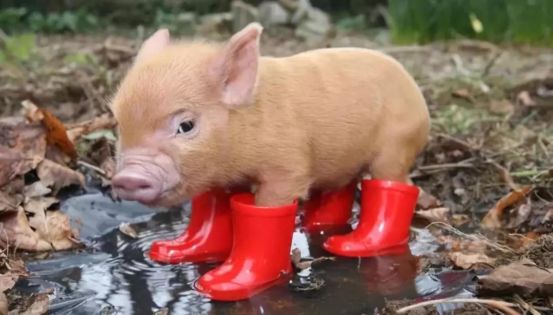 南方的猪在艳阳里瑟瑟发抖,北方的猪在寒夜里温暖如春!