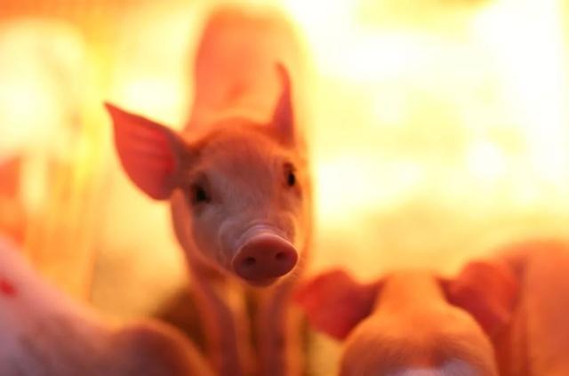 看国外 | 面对非洲猪瘟疫情,看美国如何生猪产销调运?