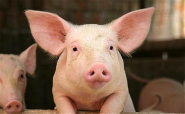 市场观察 | 非洲猪瘟搅局,为何有的养猪企业赚钱有的亏钱?