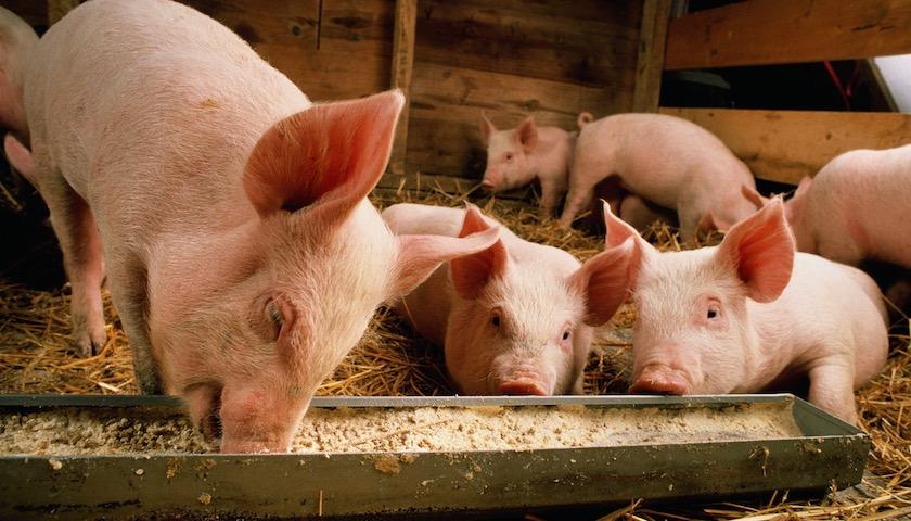 市场观察 | 养猪企业2018年业绩大幅下降 生猪跌价是主因