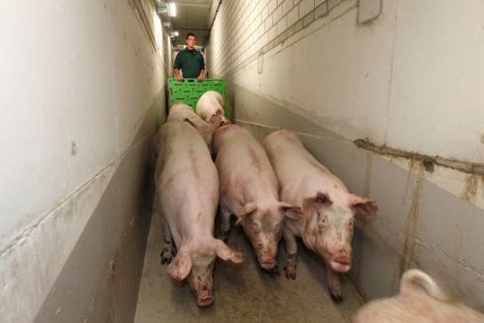 看国外 | John Gadd:人工转栏应如何设计猪舍