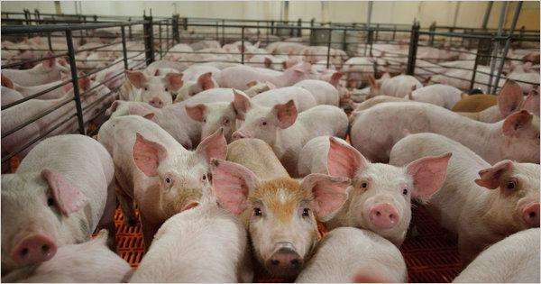 俄罗斯农业集团计划在青岛投资50亿美元建设生猪养殖和饲料加工项目