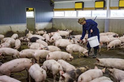 看国外 | 动物福利型猪场的工作满意度(上)