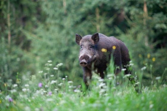 看国外 | 西班牙:可为野猪接种疫苗预防非瘟