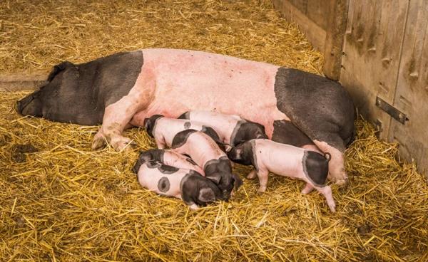 """母猪的信号预热篇:观察、思考和行动,像""""猪""""一样思考!"""