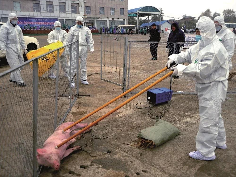 《财经》杂志深度报道非洲猪瘟,揭露疫情全国蔓延真相