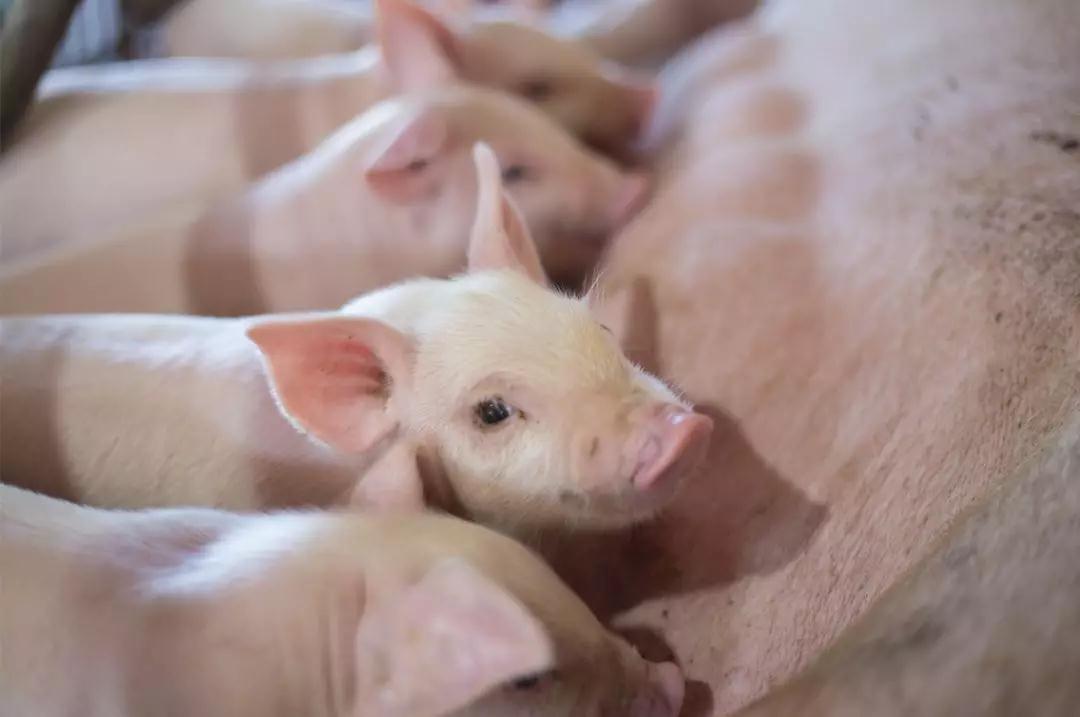 爱猪精选 | 107个猪场调查:关注非瘟下的幸存者——猪场大猪猝死率