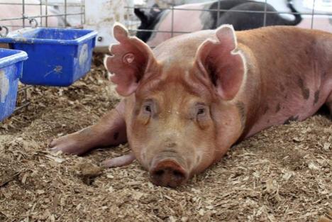 看国外 | 非瘟病毒很可能存在于美国,生猪尚未受影响