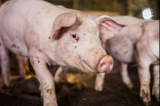 爱猪精选 | 猪蓝耳病可怕?看看明尼苏达大学对普境安有何研究?
