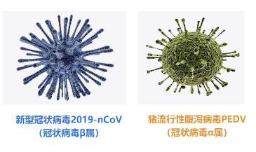 猪源冠状病毒与新型冠状病毒无关!
