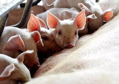 综合报道 | 专家预测下半年猪价同比将会较快回落