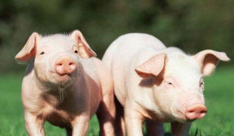 综合报道   国家发布多项养猪补贴政策,如何领取?
