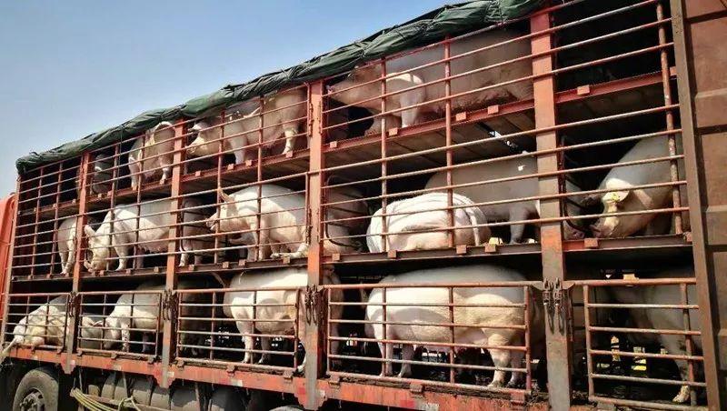 综合报道 | 禁止活畜禽流通以降低疫情风险?农业农村部:条件不成熟