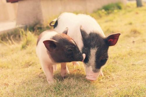 综合报道 | 业内人士称生猪期货有望弱化猪周期 引导产业升级