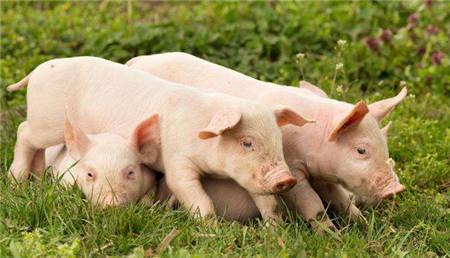 综合报道 | 生猪价格频繁急涨急跌将成常态