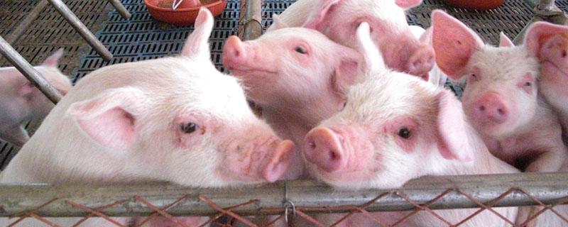 综合报道丨养猪业产能转移蓄势待发 养猪有望成为新疆新兴支柱产业