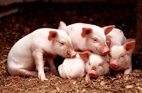 农业农村部:正研究建立生猪全产业链信息权威发布窗口