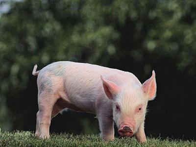 综合报道丨我国至少存在4种以上非洲猪瘟基因Ⅱ型自然变异株还在潜伏