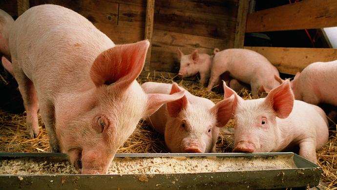 综合报道丨猪粮比连续下跌,生猪期价强势回暖
