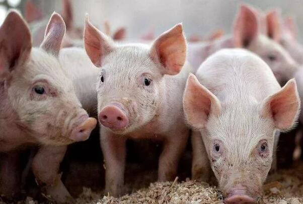 综合报道丨生猪板块估值见底了吗?
