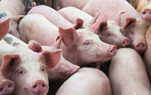 综合报道丨猪肉价格持续下跌,如何才能最大限度降低养殖户损失?