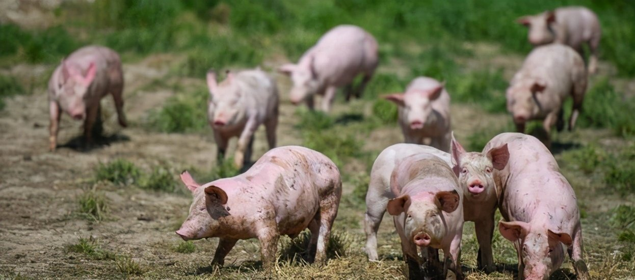 综合报道丨猪价何时能走出下跌周期
