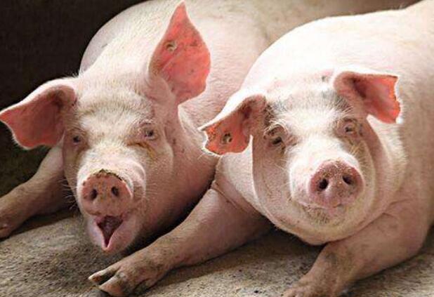 """农业农村部:加快建设生猪现代养殖 体系缓解""""猪周期""""波动"""
