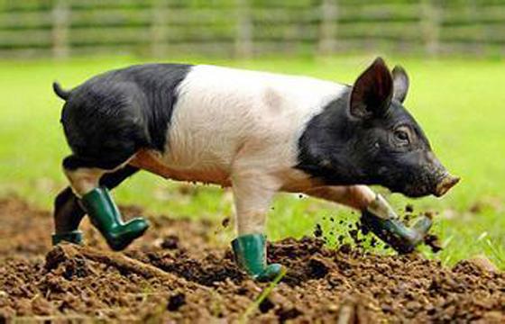 看欧美等发达国家的大型猪场是如何处理猪粪尿污水问题的?