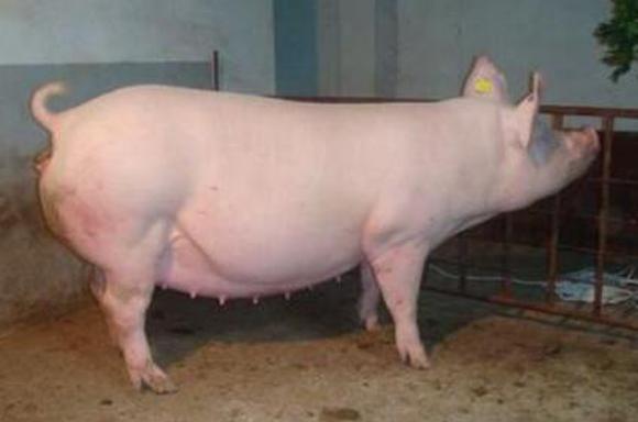 母猪发情时间的判断直接影响产仔数,如何鉴别发情?