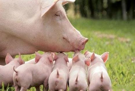 农业部:猪肉进口量将显著下降 3季度猪价将回升