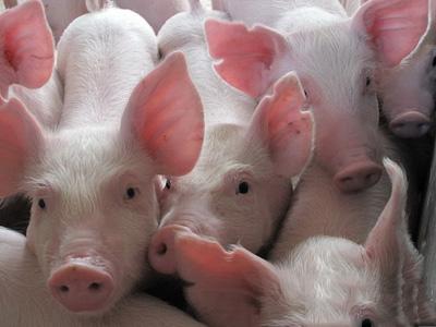 温氏集团:60万头生猪产业化项目落户林西