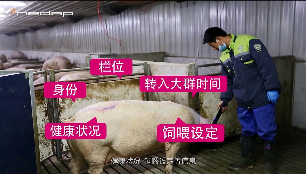 【未来猪场第五期】如何利用智能化设备获得高效的母猪饲养模式?